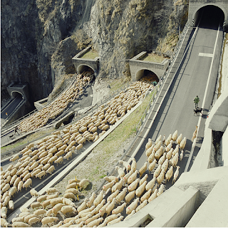 traveling sheep