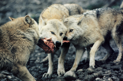 wolves eating lunch