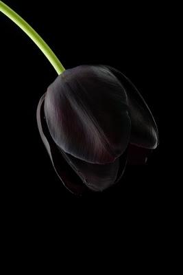 BlackTulip.jpg