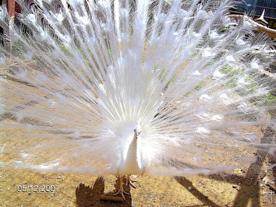 Albino Peacock For Sale. albino peacock pa