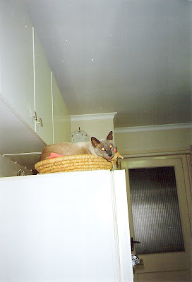 Sydney Cat Rescue Rehome Oriental Cats