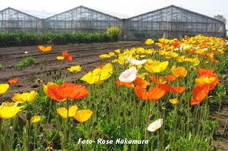 Plantação de flores no Japão