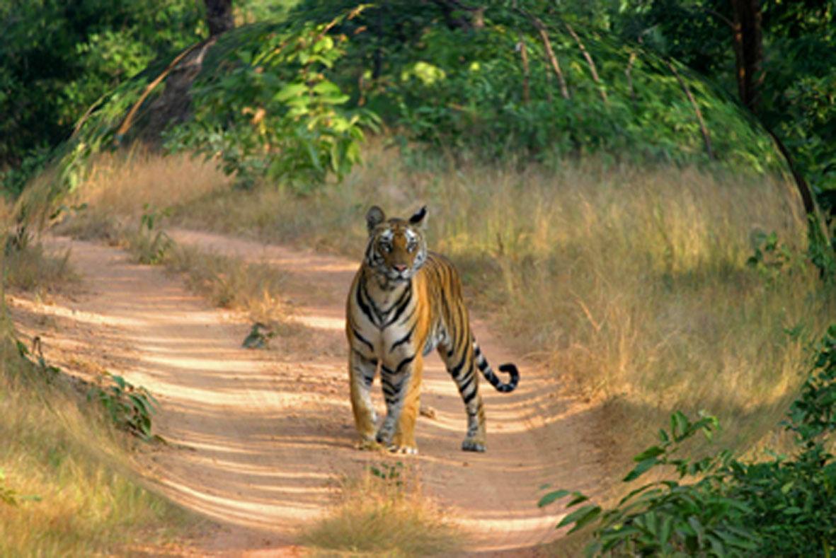 tiger s information s in hindi बाघ बचाओ अभियान-हिन्दी व्यंग्य (tiger save mission-hindi satire).