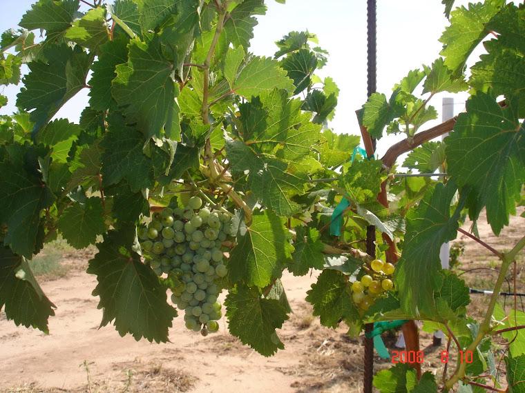 John's Grapes