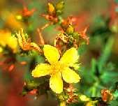 sar%C4%B1+kantaron Ender Saraç sarı kantaron hapı depresyon için faydalı