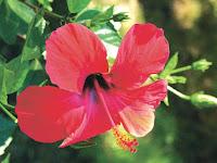 hibiskus+%C3%A7i%C3%A7e%C4%9Fi ibrahim saraçoğlu Wilson hastalığı için hibiskus kürü
