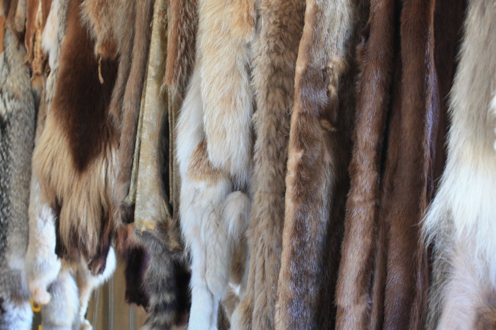 fur trade Effects of the american fur trade on american western expansion.