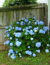 Hydrangeas Are My Favorite!