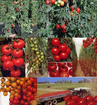 Cultivo de jitomate en Mexico