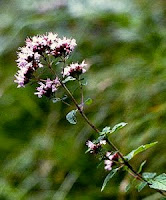 Photo of a flowering sprig of oregano.