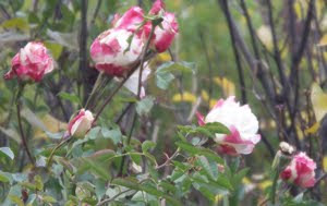 Photo of roses.