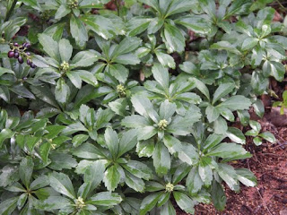 Photograph of pachysandra.