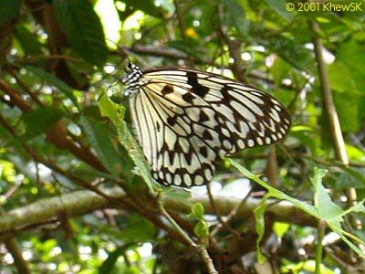 Philippine Live Butterflies