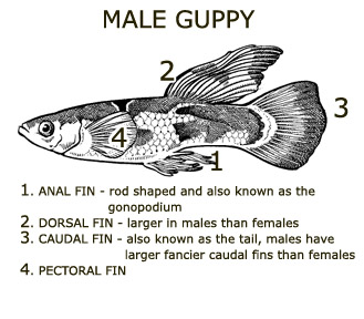 A guppy life the first post a guppy life for How long do fish stay pregnant