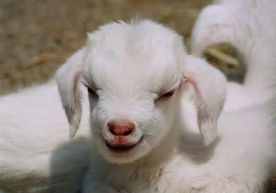 2833061-baby_goat.jpg