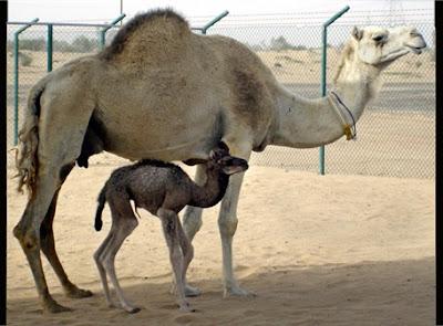 dromedario madre y su cria