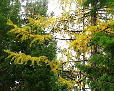 larch2