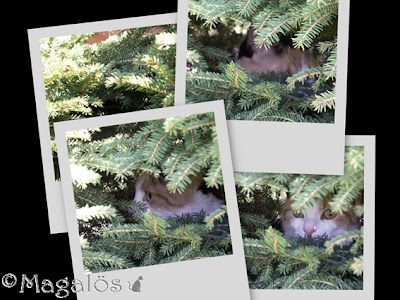 Bildcollage med fyra bilder, kattfröken gömmer sig bland fågelbo-granarna.
