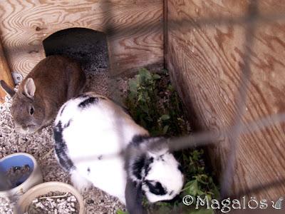 Kaninfröknarna mumsar blad.