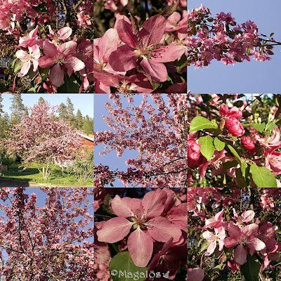 Collage av paradisäppelträdet med rosa blommor