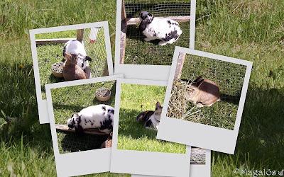 Collage med kaninerna och kattfröken på grönbete.