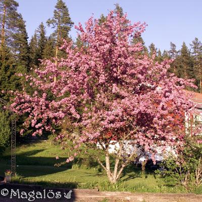 Paradisäppelträd i full blom med rosa blommor.