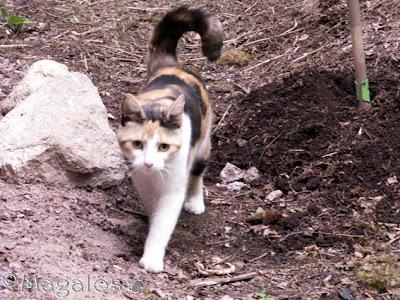 Kattfröken