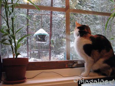 Kattfröken i fönstret, tittar på fåglarna som äter utanför fönstret. Ibland sätter sig en talgoxe på spröjsen till fönstret...