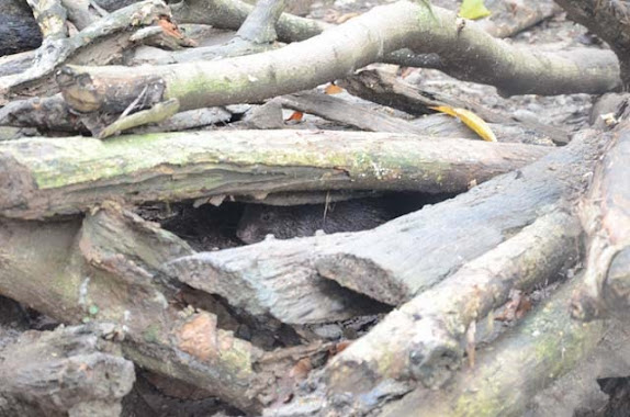 palawan porcupine
