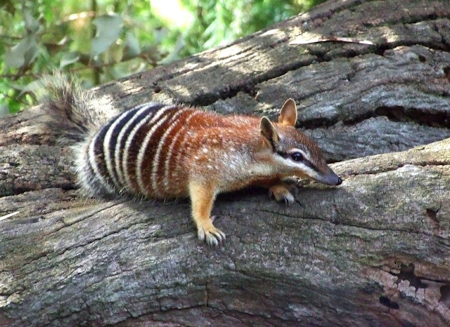 Do you know Numbat? See facts and information 5
