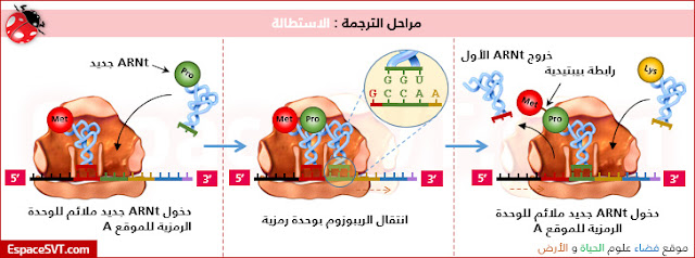 تعرف من خلال الوثائق الثلاث المقترحة، كيفية تركيب البروتينات انطلاقا من الـ ARNm.