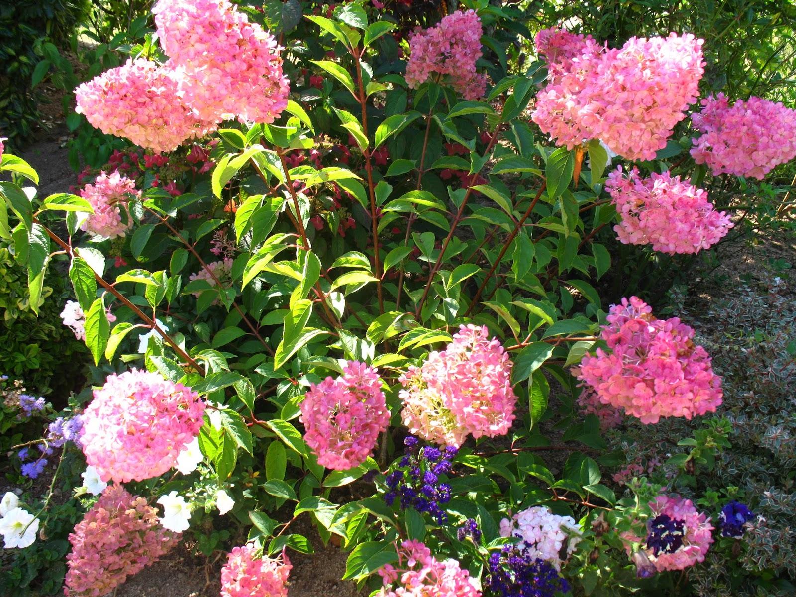 Roses Du Jardin Cheneland Hydrangea Paniculata Vanille Fraise