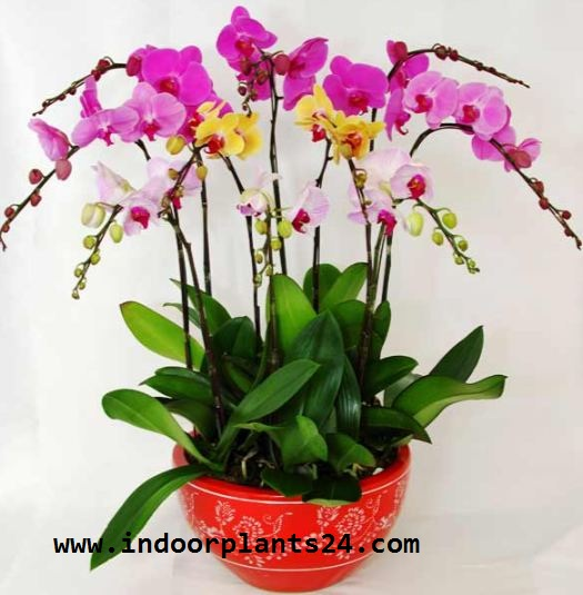 Orchidaceae indoor house plant potted
