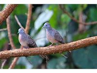 Ini yang Membedakan Burung Perkutut Jantan dan Betina!