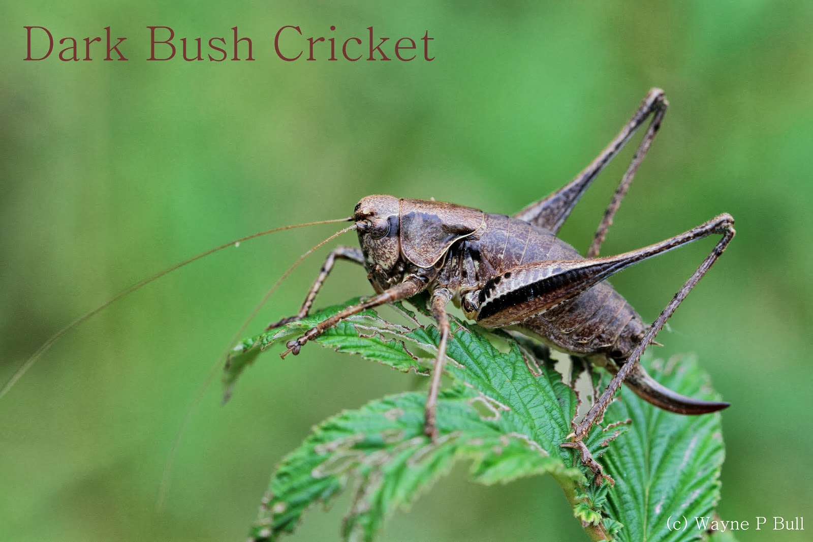 analysis the grasshopper and the bell cricket Grasshopper and the bell cricket in this short story, the grasshopper and the bell cricket written by yasunari kawabata found in the palm of the hand stories by lane dunlop and j martin holman, is told through the eyes of a narrator.