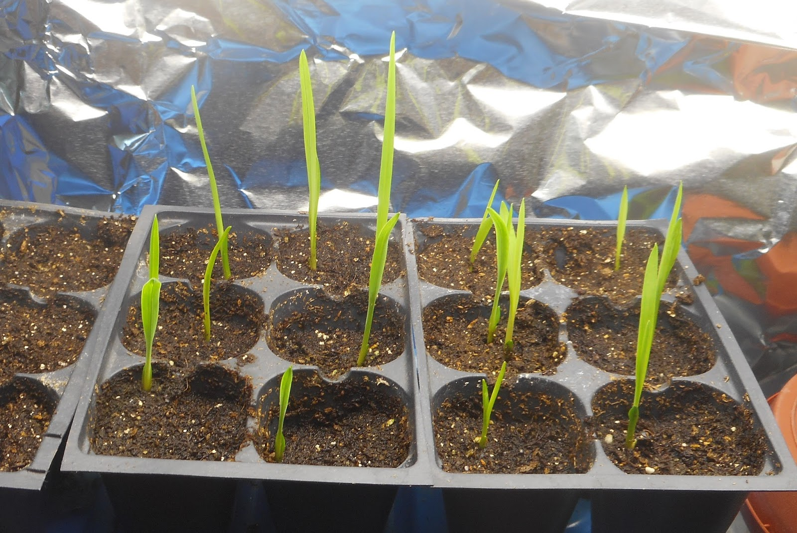 Daylily Seedlings 1 Week After Moving To Seed Starting Medium 10 3 15