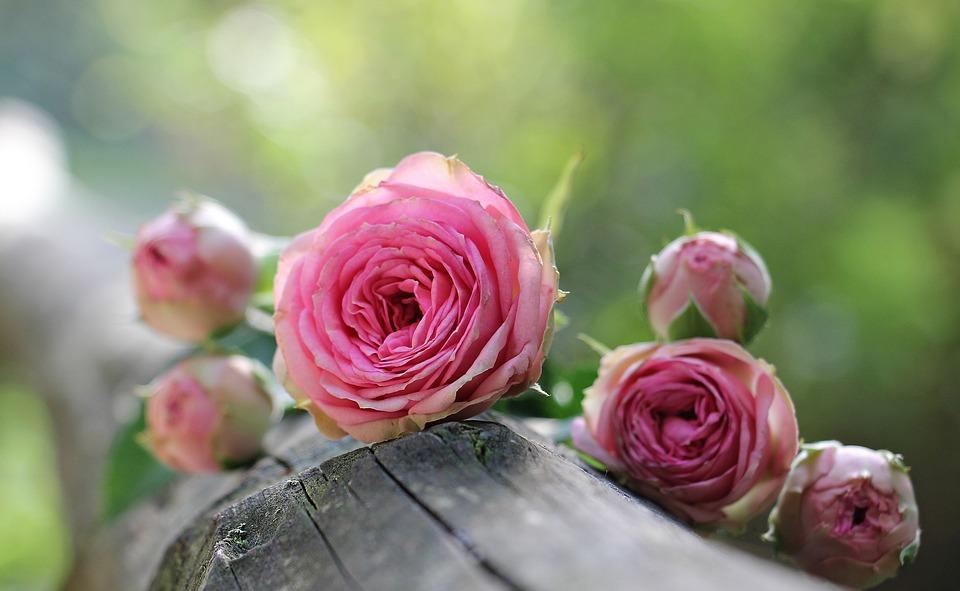 rose rosa molto belle