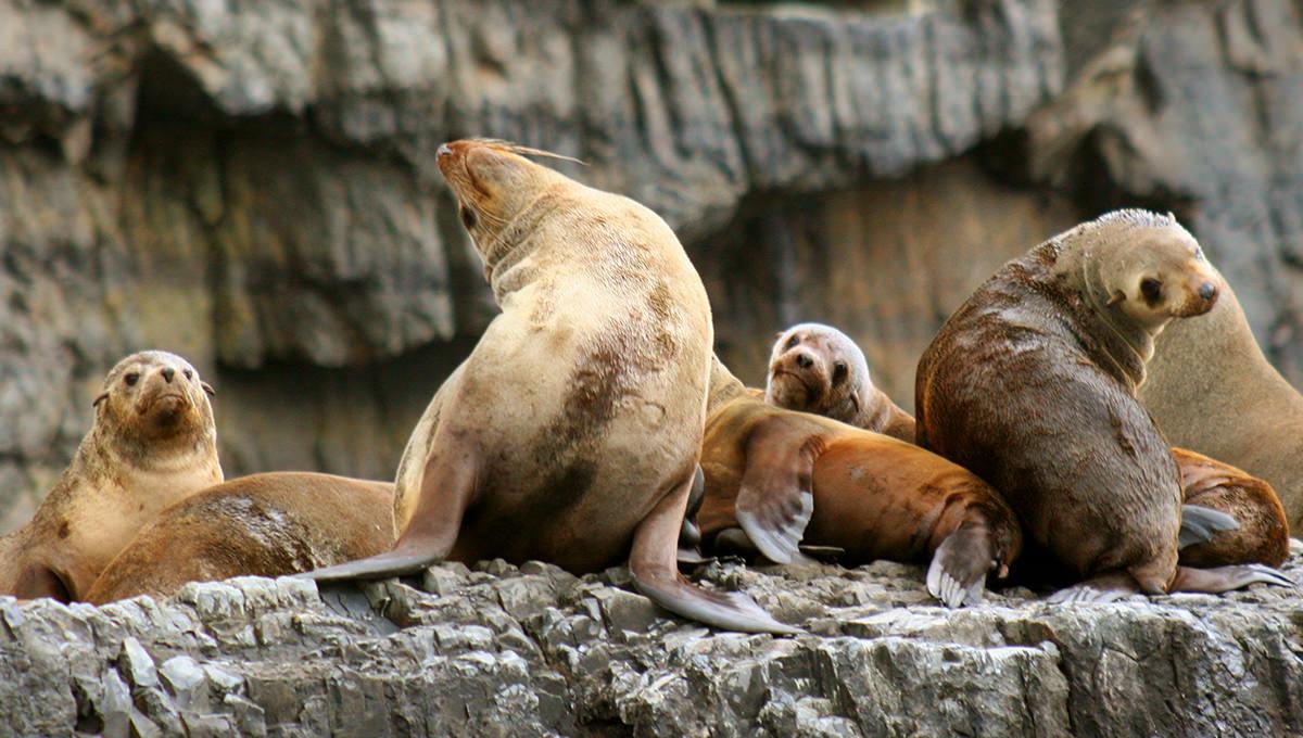 塔斯馬尼亞-海獅-海豹-景點-推薦-布魯尼島-Bruny-Island-澳洲-Tasmania-Tourist-Attraction-Australia