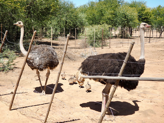 Safari Ostrich Farm, Oudtshoorn, South Africa