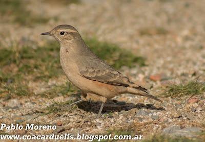 "alt=""caminera colorada,aves de Mendoza,Geositta rufipennis"""