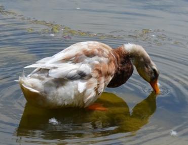 Ciri-ciri hewan bebek