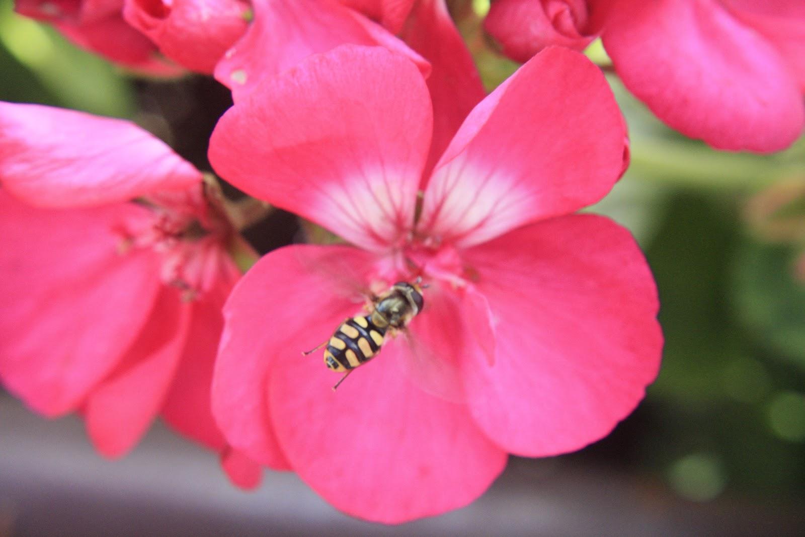 unterfrankes welt geranie teil 4 mit insekt. Black Bedroom Furniture Sets. Home Design Ideas