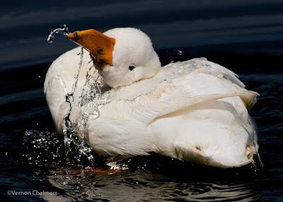 Happy Duck with Canon EOS 7D Mark II - Woodbridge Island 01