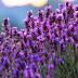 Hoa oải hương nở vào mùa nào?