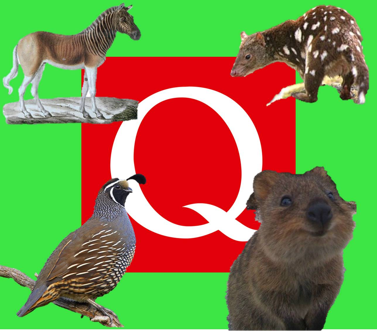 The Natural World: Alphabet Animals: The Letter Q (Extant)