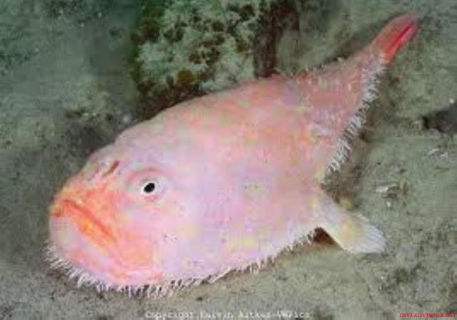 Coffinfish Adalah Jenis Ikan Laut Dalam Paling Menyeramkan, Predator Dan Unik
