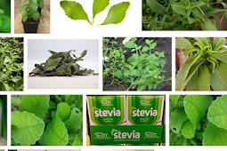 Stevia, Solusi Pengganti Gula Yang Ramah Bagi Penderita Diabetes