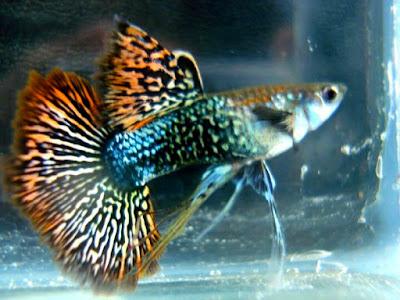 Ikan Guppy Naga Hijau Merah