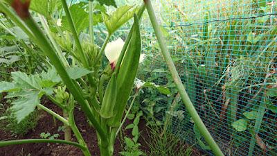 手前の普通サイズのは収穫するオクラ。大きいのは種用