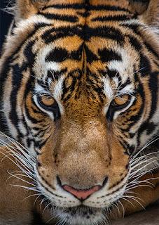 Tiger, mage, Sinjiin